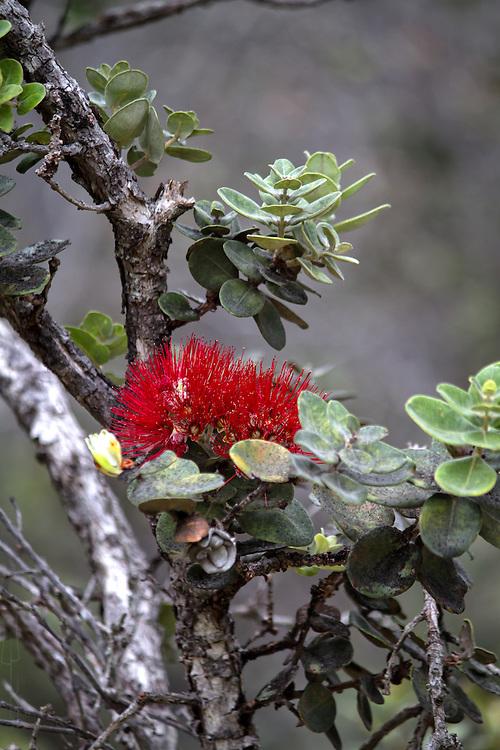 ʻŌhiʻa lehua flower
