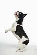Black and white French Bulldog standing on hind legs in white studio