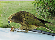 "The mischievous kea (Nestor notabilis), the world's only alpine parrot, is native to South Island, New Zealand. The bird is mostly olive-green with brilliant orange under its wings. Published in ""Light Travel: Photography on the Go"" by Tom Dempsey 2009, 2010."
