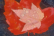Red maple leaves (Acer rubrum) in autumn, Sioux Narrows, Ontario, Canada