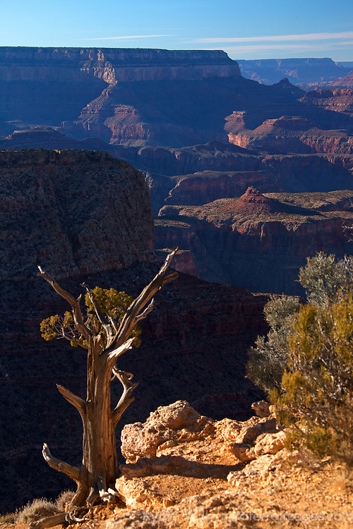 USA, Arizona, Grand Canyon. Tree at edge of the Grand Canyon, a UNESCO World Heritage Site, view from the south rim.