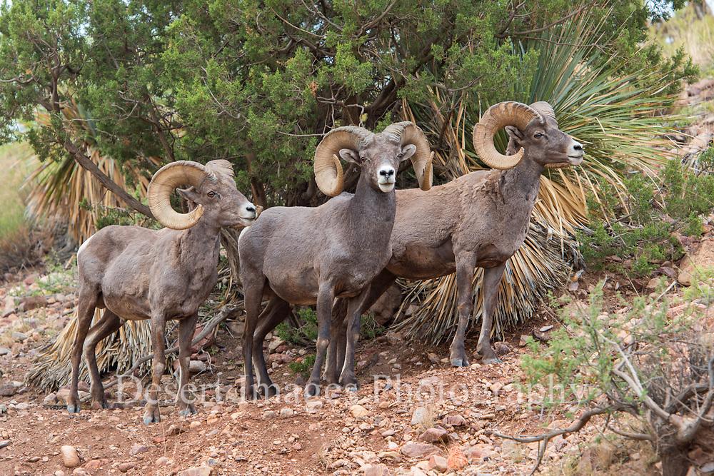 Eagle Creek Bighorns<br /> Clifton, AZ