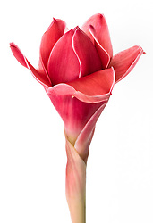 Red Ginger Flower, Etlingera elatior#1