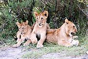 Lion cubs (Panthera leo) photographed in Africa, Tanzania, Serengeti National Park,