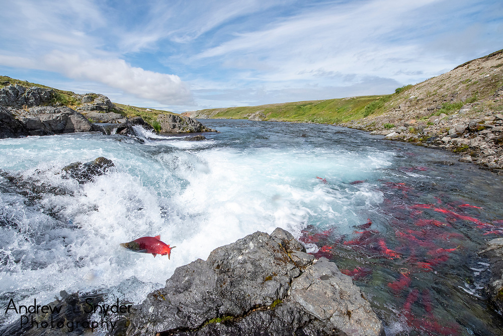 A male sockeye salmon (Oncorhynchus nerka) jumps of a small falls while a large group has gathered nearby - Katmai, Alaska