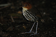 Ecuador, May 22 2010: Chestnut-crowned Antpitta (Grallaria r. ruficapilla). Images from Cabanas San Isidro...Copyright 2010 Peter Horrell