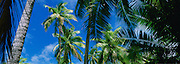 Coconut palm trees, Cook Islands<br />