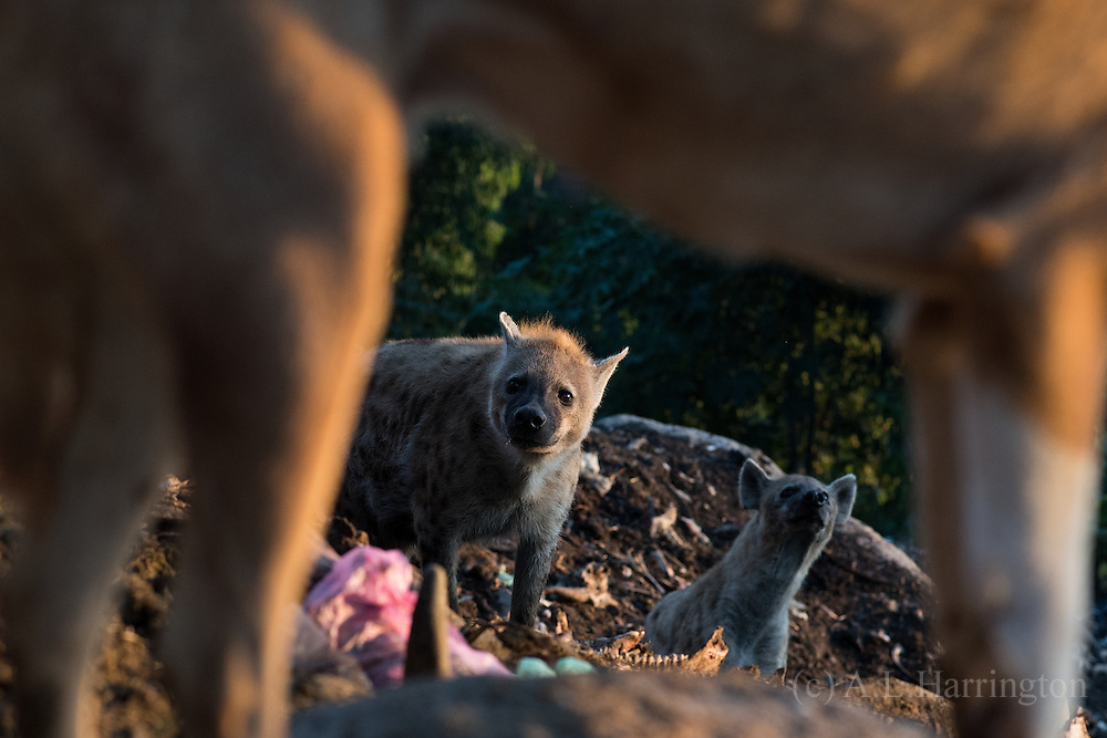 The Hyena and dogs of Harar show a mutual respect. At the dogs house the dogs are in charge, in other areas the Hyena are in charge. With so much food around there is little real conflict.
