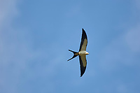 Swallow-tailed Kite (Elanoides forficatus), Arthur J Marshall National Wildli   Photo: Peter Llewellyn
