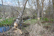 Beaver chewed trees along Liberty Creek, Liberty Lake Washington. . PLEASE CONTACT US FOR DIGITAL DOWNLOAD AND PRICING.