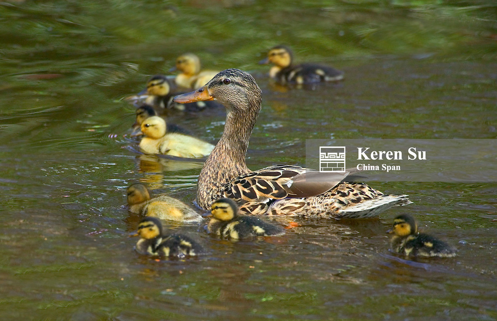 Mother duck leading ducklings on the river, Amsterdam, Netherlands
