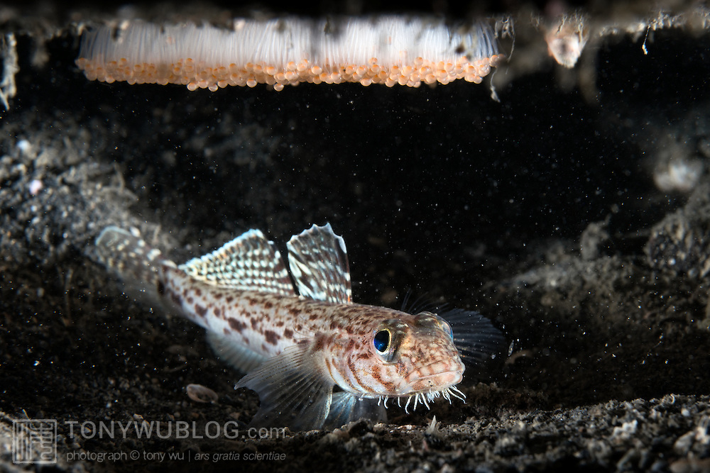 This is a male hairchin goby (Sagamia geneionema) protecting a brood of eggs. Males of this species mate several times with females, which lay their eggs on the upper surfaces of confined spaces and then leave the area to the care of the male. In this case, this burrow was at 20m depth, with water ranging between 14 and 16 degrees Celsius. The males protect the eggs until they hatch, somewhere between one and two weeks depending on water temperature, and then mate again. Throughout this process, the male does not eat much. As a result, after several matings, the males become too weak to carry on, and they die. The name for this species in Japanese is sabihaze (サビハゼ).