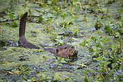 North American Beaver<br /> Castor canadensis<br /> Three-month-old kit<br /> Napa, California