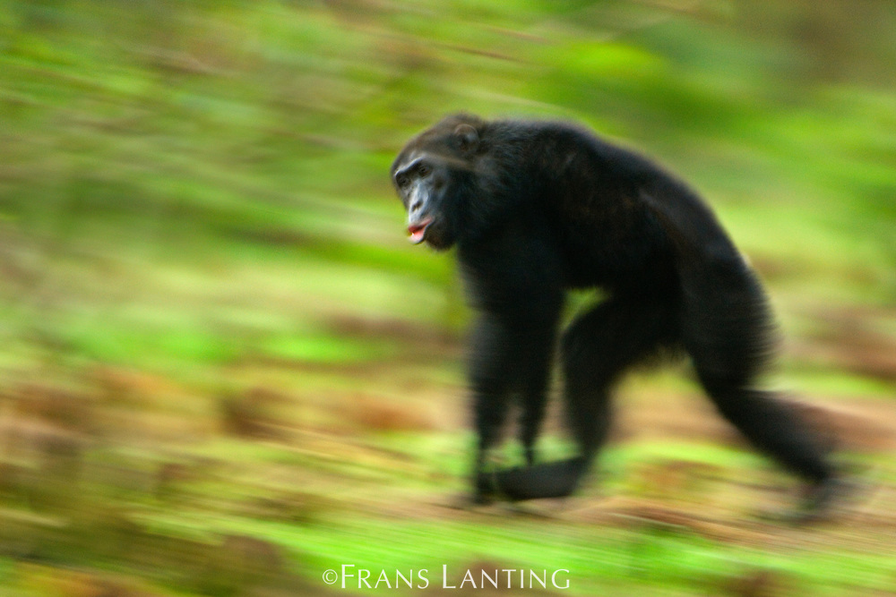 Chimpanzee male running and hooting, Pan troglodytes verus, Fongoli, Senegal