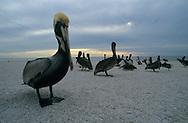 USA, Vereinigte Staaten von Amerika: Braunpelikan (Pelecanus occidentalis), Gruppe lose über den Strand verteilt, Indian Shores, Florida, USA. |  USA, United States of America, Florida, Indian Shores: a group of Brown Pelicans (Pelecanus occidentalis) on a beach. |