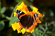The Red Admiral, Vanessa atalanta, is a common and cosmopolitan Holarctic butterfly of the family Nymphalidae.