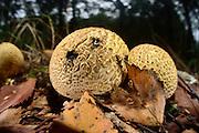 Common Earthball (Scleroderma citrinum) | Dickschalige Kartoffel(hart)bovist (Scleroderma citrinum)