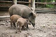 Wildschwein, Eulbacher Park, Michelstadt, Odenwald, Naturpark Bergstraße-Odenwald, Hessen, Deutschland | wild boar, Eulbach Park, Michelstadt, Odenwald, Hesse, Germany