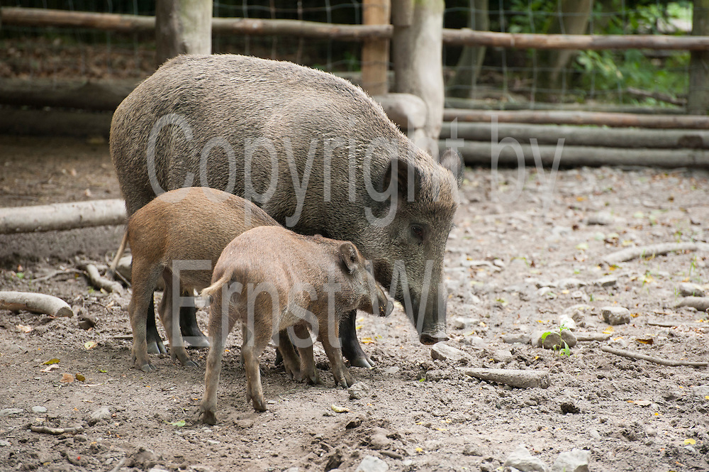 Wildschwein, Eulbacher Park, Michelstadt, Odenwald, Naturpark Bergstraße-Odenwald, Hessen, Deutschland   wild boar, Eulbach Park, Michelstadt, Odenwald, Hesse, Germany
