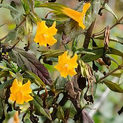 Sticky Monkey Flower, Mimulus aurantiacus var. aurantiacus