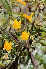 Phrymaceae, Lopseed family, maskerbloemfamilie