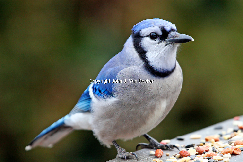 Blue Jay, Cyanocitta cristata, viewed from front left