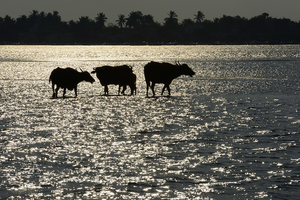 Water buffalo, Bubalus bubalis, Pulicat Lake, Tamil Nadu, India