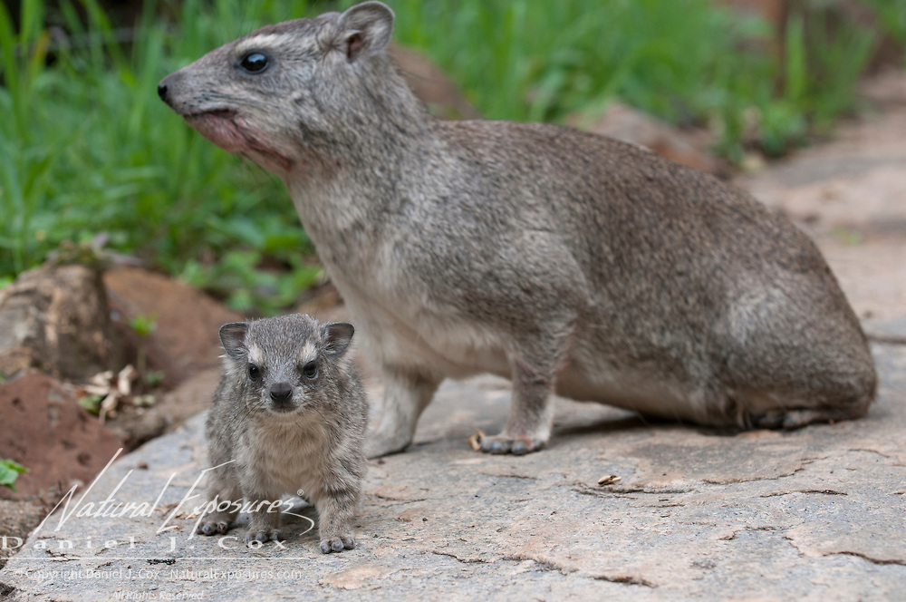 Yellow-spotted rock hyrax or bush hyrax (Heterohyrax brucei) mother with baby. Masai Mara National Reserve, Kenya, Africa