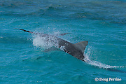 tiger shark, Galeocerdo cuvier, attacks a black-footed albatross fledgling, Phoebastria nigripes, which has landed in the lagoon on its first attempt at flight from East Island, French Frigate Shoals, Papahanaumokuakea National Monument, Northwest Hawaiian Islands ( Central Pacific Ocean ) #3 in series of 4