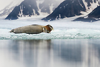 Bearded seal (Erignathus baratus) resting on fjord ice in Liefdefjorden, Spitsbergen.