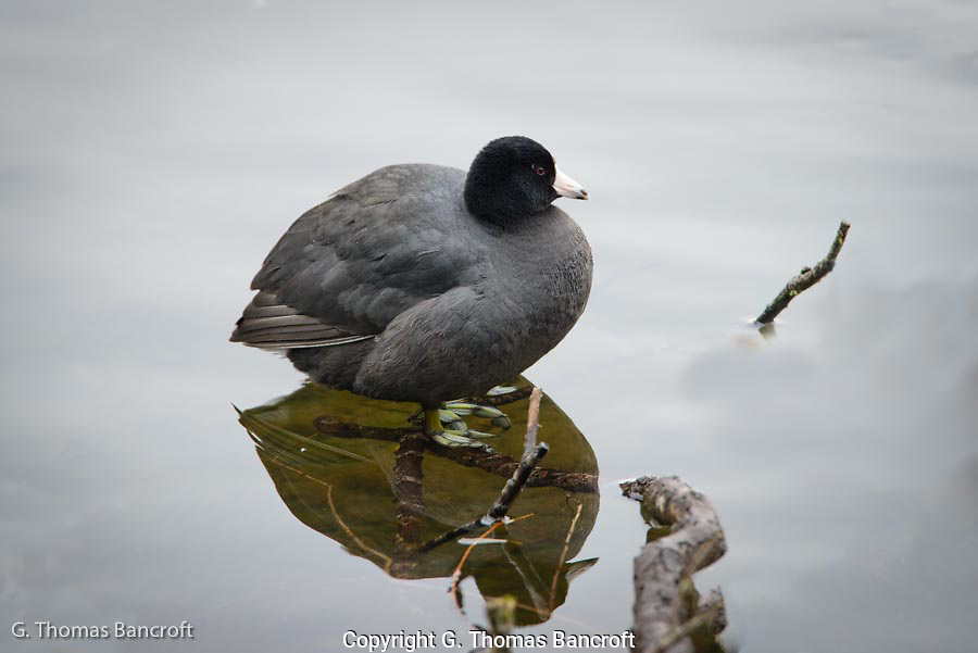Notice the lobbed toes of the Coot as it stands on the branch.
