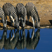 Reflection of five zebra drinking at the Okaukuejo Water Hole in Etosha National Park Namibia.
