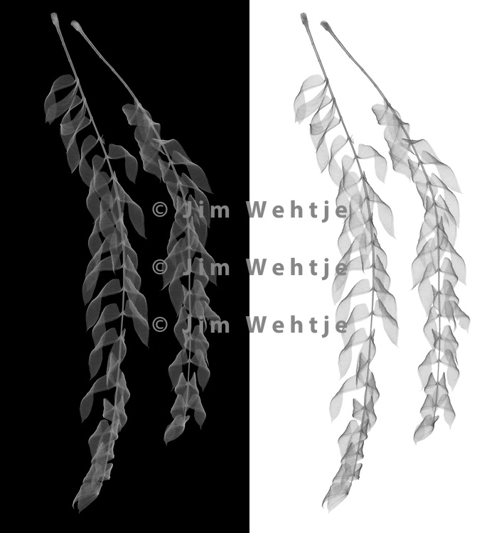X-ray image of dried Persian silk tree leaflets (Albizia julibrissin, grayscale) by Jim Wehtje, specialist in x-ray art and design images.