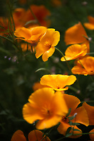 Close up of beautiful California Poppies.