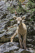 Bighorn Lamb in Rocky Mountain Habitat