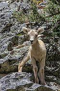 Bighorn Lamb in Rocky Mountain Habitat
