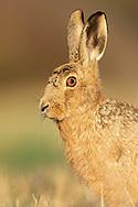 European Hare (Lepus europaeus) adult alert, close up of head, South Norfolk, UK. March