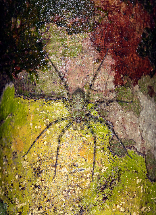 Huntsman spider (Heteropoda sp.?) from Kubah National Park, Sarawak, Borneo