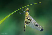 Taihei - teneral Calico Pennant dragonfly