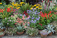 A wide variety of late summer plants in containers: penstomen, rudbeckia, red piscaria;  Great Dixter House Garden,  Rye, East Sussex, UK