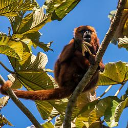 """Bugio-ruivo (Alouatta guariba) fotografado em Santa Maria de Jetibá, Espírito Santo -  Sudeste do Brasil. Bioma Mata Atlântica. Registro feito em 2016.<br /> <br /> <br /> <br /> ENGLISH: Howler monkey photographed  in Santa Maria de Jetibá, Espírito Santo - Southeast of Brazil. Atlantic Forest Biome. Picture made in 2016."""