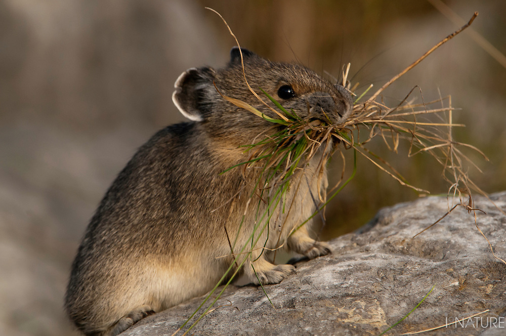 American pika collecting grass for winter stores and bedding.