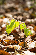 Sapling of Beech tree, Fagus sylvatica, the European beech or common beech at Bruern Wood in The Cotswolds, UK