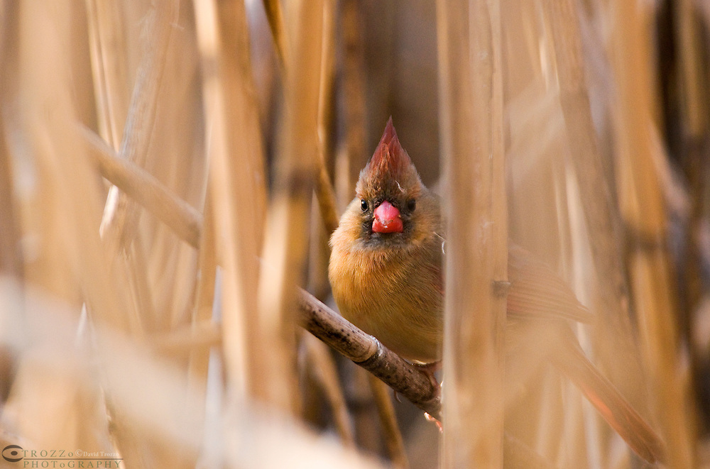 The Northern CardinalCardinalis cardinalis,is found from southern Canada through the eastern United States from Maine to Texas and south through Mexico to northern Guatemala and Belize. It is found in woodlands, gardens, shrublands, and swamps. Pictured here is the female.-----