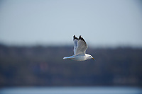 Adult Ring-billed Gull (Larus delawarensis) in flight,  Crescent Beach, Nova Scotia, Canada