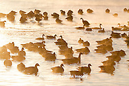 00748-05518 Canada Geese (Branta canadensis) flock on frozen lake,  Marion Co, IL