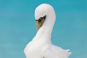Masked Booby preening its neck feathers