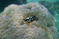 Tridacna crocea, a small clam, embedded in coral at the Rowley Shoals. Tridacna crocea grows to a maximum of 10mm and lives in small cracks on shallow reef flats.