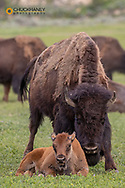 Bison with newborn calf in Theodore Roosevelt National Park, North Dakota, USA