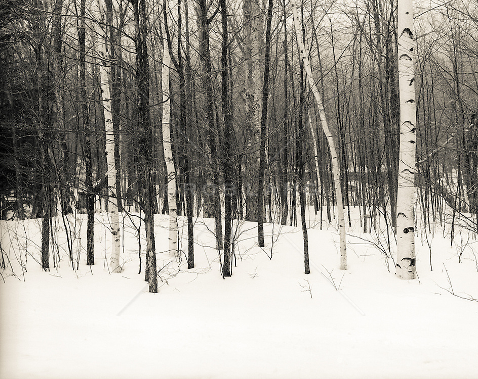 trees in the winter snow in Upstate New York